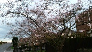 This tree has been in bloom since at least 4 weeks ago. There were some trees in town which flowered in November!! I was also told that this is the winter flowering variety. Hmmm... as usual, I learn new things everyday. I thought I saw this tree in bloom in spring in the past years.