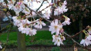 Looks like cherry blossom to me.