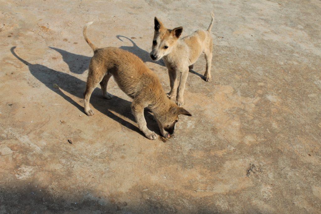 hungry, pupipies, Khaung Daeng hot spring, Inle, Burma,